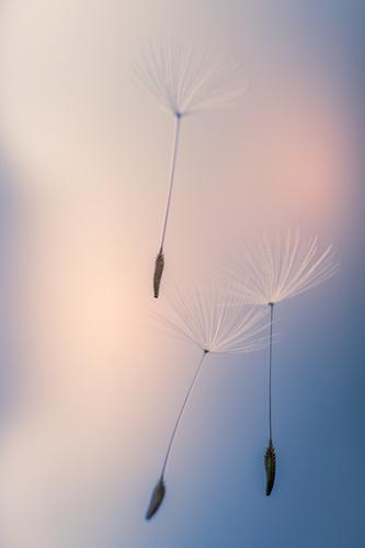 Fotomural Păpădia, semințe de păpădie ridicate de vânt, împușcat macro